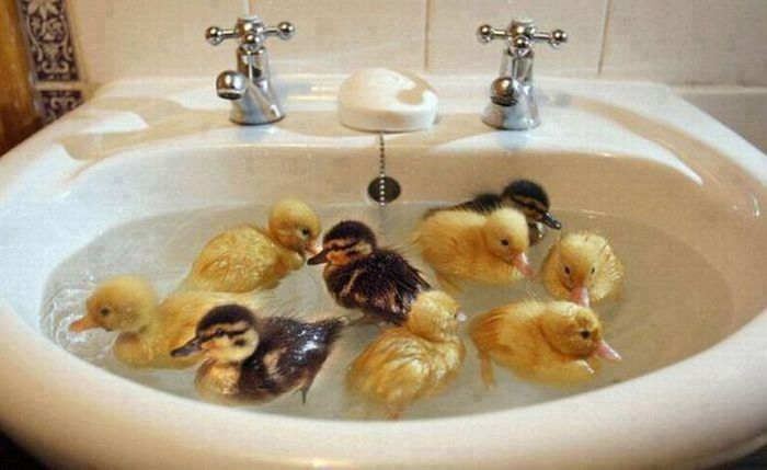 ducks-in-the-sink